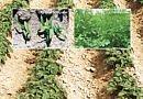 Désherbage de la pomme de terre – Herbicide de postémergence Antidicotylée & antigraminée